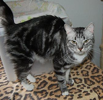 Domestic Shorthair Cat for adoption in Brainardsville, New York - Dharma