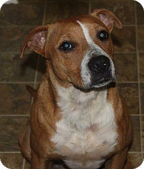 Rhodesian Ridgeback/Boxer Mix Dog for adoption in PARSIPPANY, New Jersey - ANGEL