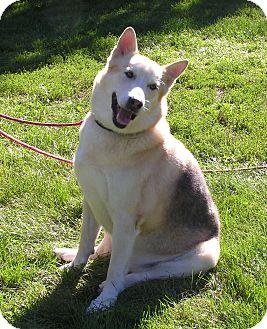 German Shepherd Dog/Husky Mix Dog for adoption in Rigaud, Quebec - Butch