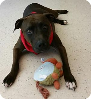 American Pit Bull Terrier Mix Dog for adoption in Janesville, Wisconsin - Maycee
