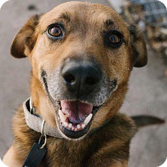 Shepherd (Unknown Type) Mix Dog for adoption in Minneapolis, Minnesota - Perry