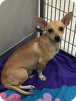 Chihuahua Mix Dog for adoption in Humble, Texas - Heather