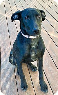 Labrador Retriever Mix Puppy for adoption in Colmar, Pennsylvania - Bella
