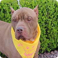 Adopt A Pet :: BIG RED - Las Vegas, NV