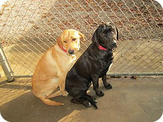 Labrador Retriever Mix Dog for adoption in Henderson, North Carolina - Zena & Zoey