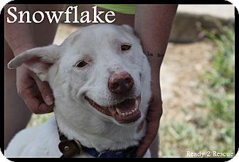 Shepherd (Unknown Type)/Labrador Retriever Mix Dog for adoption in Rockwall, Texas - Liberty