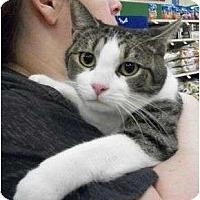 Adopt A Pet :: Gizmo - Reston, VA