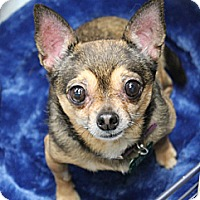 Chihuahua Dog for adoption in Studio City, California - Bonnie