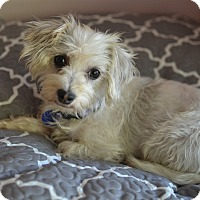 Adopt A Pet :: Penny Lane - Los Angeles, CA