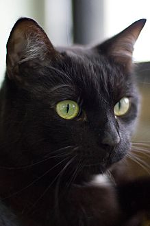 Domestic Shorthair Cat for adoption in Grayslake, Illinois - Cosmos