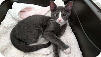 Domestic Shorthair Kitten for adoption in Los Angeles, California - Smoochies