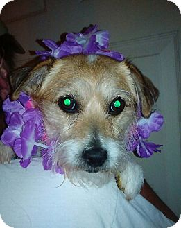 Jack Russell Terrier Dog for adoption in Blue Bell, Pennsylvania - Snowball