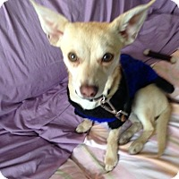 Chihuahua Mix Dog for adoption in Chicago, Illinois - Hugo
