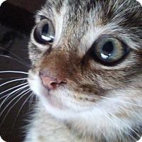 Adopt A Pet :: Belle - Levelland, TX