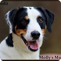 Adopt A Pet :: Bandit - Dixon, KY