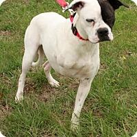 Adopt A Pet :: Meredythe Grey - Foster, RI