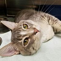 Adopt A Pet :: Whiley - Monrovia, CA