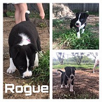 Border Collie/American Pit Bull Terrier Mix Puppy for adoption in White Settlement, Texas - Rogue