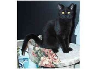 Domestic Shorthair Cat for adoption in Acme, Pennsylvania - Gus