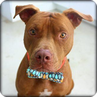 American Pit Bull Terrier/Plott Hound Mix Dog for adoption in Austin, Texas - Dudley