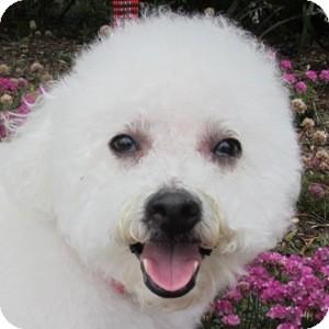 Bichon Frise Mix Dog for adoption in La Costa, California - Lucky