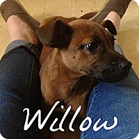Adopt A Pet :: Willow - Chicago, IL