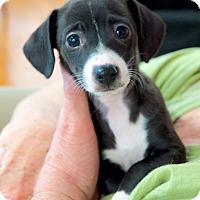 Adopt A Pet :: Zoey - Homewood, AL
