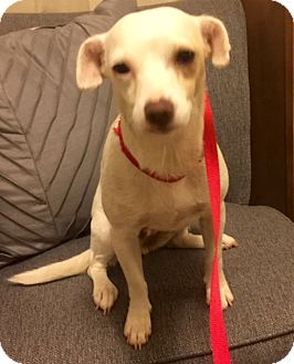 Jack Russell Terrier/Chihuahua Mix Dog for adoption in Birmingham, Alabama - Roxy