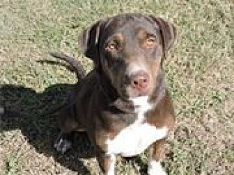 Labrador Retriever Mix Dog for adoption in Cottonport, Louisiana - Duchess