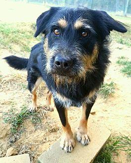 Schnauzer (Giant) Mix Dog for adoption in Graceville, Florida - Rocky  5