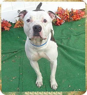 Pit Bull Terrier Mix Dog for adoption in Marietta, Georgia - CHINO