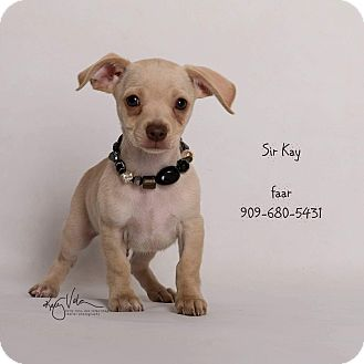 Chihuahua Mix Puppy for adoption in Riverside, California - Sir Kay