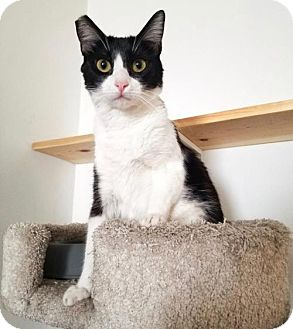 Domestic Shorthair Cat for adoption in Los Angeles, California - Selena