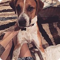 Adopt A Pet :: Louie - Austin, TX
