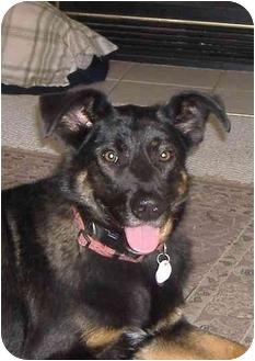 German Shepherd Dog/Labrador Retriever Mix Dog for adoption in Petersburg, Kentucky - BJ