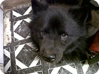 Chow Chow Mix Dog for adoption in Las Vegas, Nevada - Oso