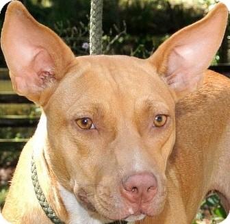 Carolina Dog/American Bulldog Mix Dog for adoption in Groton, Massachusetts - Gretchen-ADOPTED!