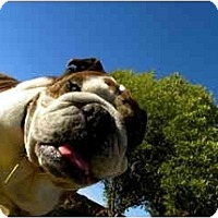 Adopt A Pet :: Annie*adoption pending* - Gilbert, AZ