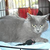 Adopt A Pet :: Willow - Arlington, VA
