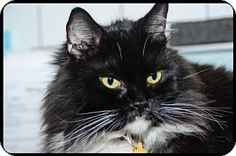 Maine Coon Cat for adoption in Absecon, New Jersey - Dewey Courtesy Post