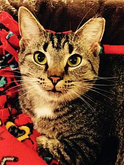 Domestic Shorthair Cat for adoption in Greenback, Tennessee - Peanut