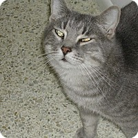 Domestic Shorthair Cat for adoption in Naples, Florida - O'Malley