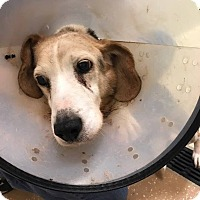 Adopt A Pet :: Dasher - Newport, KY