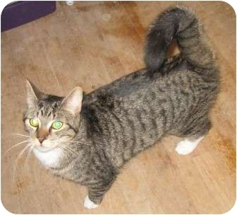 Domestic Shorthair Cat for adoption in Montreal, Quebec - Petrie