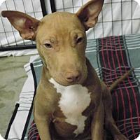 Adopt A Pet :: Shiloh - Tumwater, WA