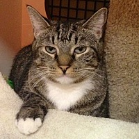 Domestic Shorthair Cat for adoption in Little Falls, New Jersey - Bobby