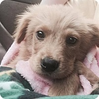 Adopt A Pet :: Lincoln - New Canaan, CT