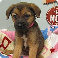 Adopt A Pet :: Darla - Groton, MA