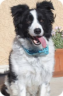 Border Collie Dog for adoption in San Pedro, California - PEPPER