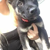 Adopt A Pet :: POINTTER - Winnipeg, MB